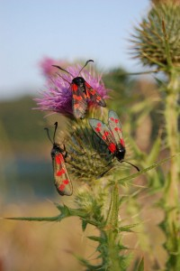 6-spot-burnet-moths
