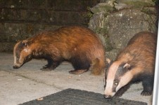 badgers3