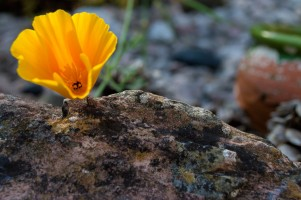 californian-poppy