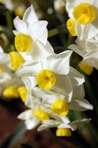 narcissi-flower