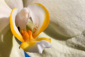 orchid-close-up