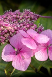 pink-hydrangea-cropped