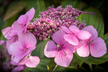 pink-hydrangea-not-cropped