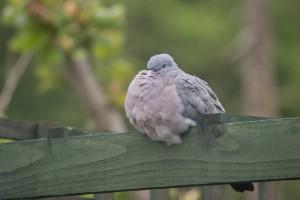 sleepy-pigeon1