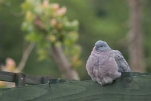 sleepy-pigeon2