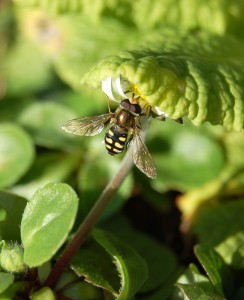 syrphid-fly