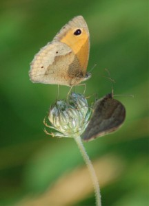 two-meadow-brown-butterflies